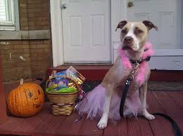 funny dog costume pitbull dog and cat