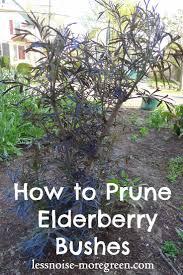 best 10 black lace elderberry ideas on pinterest sambucus black