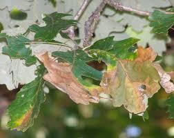 White Oak Leaf A Bad Year For Bur Oak Blight Yard And Garden News University