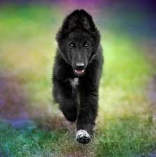 belgian sheepdog dog breeders belgian sheepdog puppy photograph by wolf shadow photography