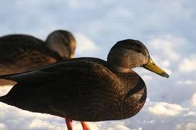 david albeck u0027s photos of ducks u0026 geese