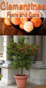 25 best indoor fruit trees ideas on pinterest lemon plant