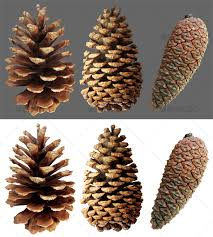 closed pine cone 3 by yio graphicriver