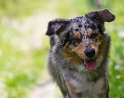 australian shepherd lion cut 11 best running dogs which breeds can go the distance
