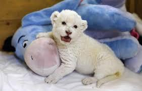lions for sale roar white lion cub shows its voice in adorable