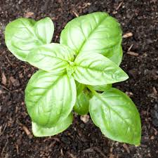 basil plant feeding u2013 when and how to fertilize basil