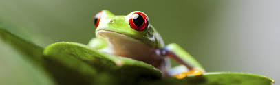 about tree frogs the eyed tree frog