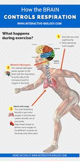 The Anatomy Of The Human Brain What Parts Of The Brain Control Respiration Interactive Biology