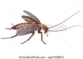 was ist das für ein insekt eine wanze oder was urlaub insekten insekt wanze küchenschabe käfer städtisch küchenschabe