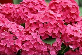 pink hydrangea and bright pink hydrangea flowers pictures jpg