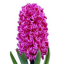 hyacinth flower buy bulk burgundy plum hyacinth flower