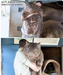 Wombat Memes - oldest living wombat meme by samuraistorm666 memedroid