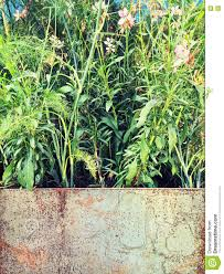 Plants Blooming Plants Blooming In A Rusty Metal Container Stock Photo Image