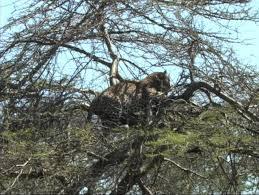 leopard in a tree feeding on a zebra stock footage 323815