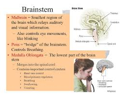 What Portion Of The Brain Controls Respiration Cerebral Cortex The Outermost Layer Of The Brain Containing Gray