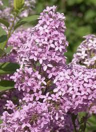 plants native to china chinese lilac monrovia chinese lilac