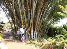 Quail Botanical Gardens Encinitas California Quail Botanical Gardens Tropical Bamboo