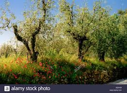 olive trees and poppies on small country tuscany