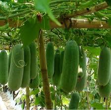 vegetable seed 20 seeds pack sheet jelly big wax gourd seeds