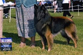 belgian sheepdog uk belgian tervurens dogs pinterest dog forum and dog