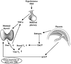 pregnancy and pituitary disorders