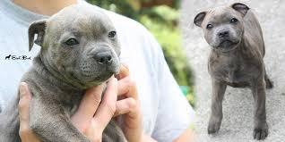 american pit bull terrier zucht eastbull staffordshire bull terrier zucht germany