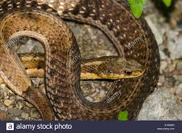 eastern garter snake thamnophis sirtalis stock photos u0026 eastern