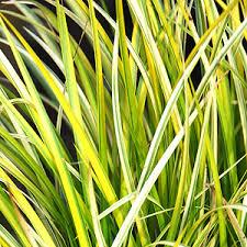 ornamental grasses s nursery ltd