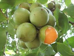 95 best frutos images on pinterest fruit exotic fruit and