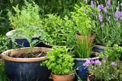 gem se pflanzen balkon gemüse im topf pflanzen 6 wichtige anbautipps