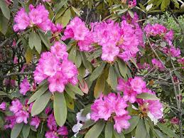 free images botany shrub rhododendron rhododendrons spring