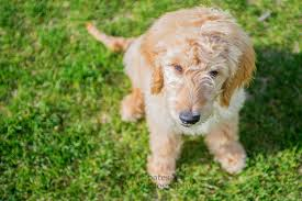 goldendoodle puppy treats photographing a golden doodle puppy in denver spates pet