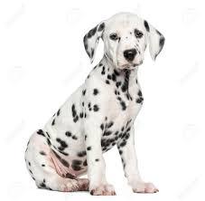 side dalmatian puppy sitting camera