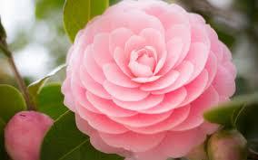 camellia flowers camellia flower wallpaper hd for desktop of beautiful flower