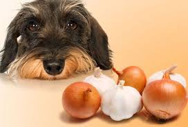 are onions for dogs what can t dogs eat what food are toxic to dogs reach valuable