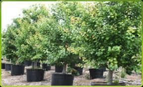 california tropical fruit trees