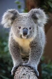 410 koalas images koala bears baby animals