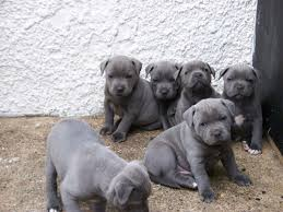 staffordshire bull terrier breeders who have staffordshire bull