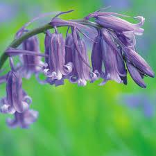english bluebells thompson u0026 morgan