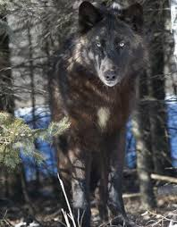 a black wolf is a melanistic colour variant of the grey wolf canis