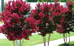 crepe myrtle muskogee e myrtle trees for fast growing trees