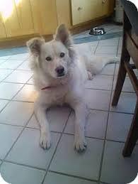 american eskimo dog adoption save a dog inc dogs pinterest september a dog and save a dog