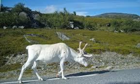 panoramio photo of white reindeer