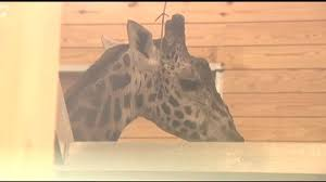 two zoos mourn the loss of ernie the giraffe wfmz