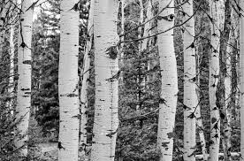 free photo tree grove black and white aspen free image on