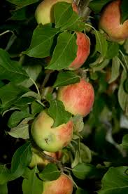 100 cold weather fruit trees a garden on the bay 12 7 10