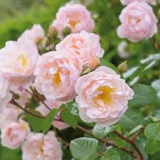 White Roses For Sale Scented Roses For Sale Freespywarefixescom