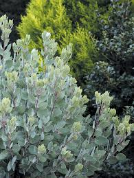 garden ideas pacific horticulture society arctostaphylos for