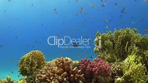 tropical fish on vibrant coral reef underwater scene royalty