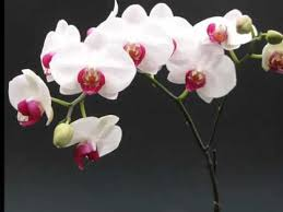 white orchids white orchids the color to beautiful